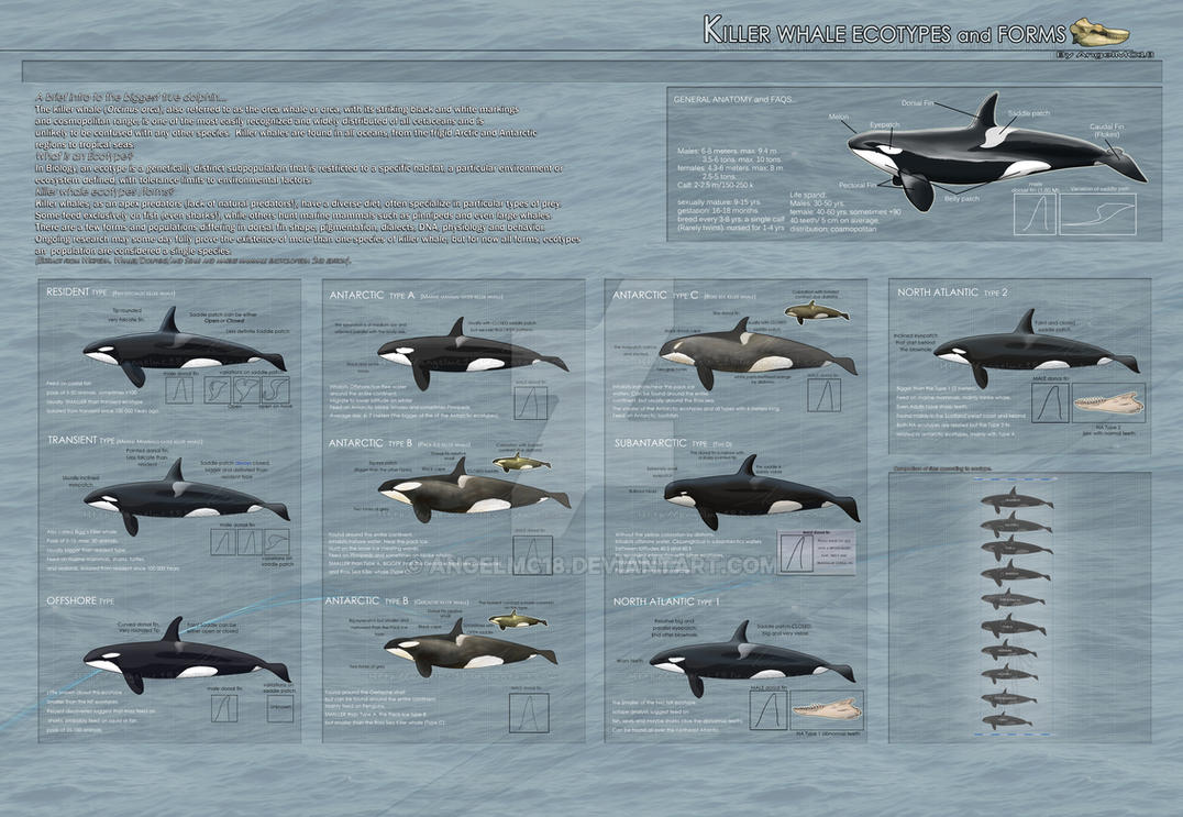 Killer Whale Ecotypes and Forms - 2013 UPDATED- by AngelMC18 on ...