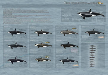 Killer Whale Ecotypes and Forms - 2013 UPDATED-