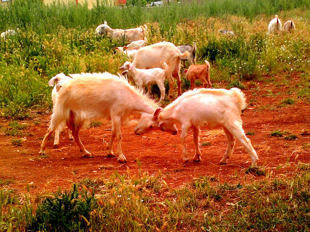 Stubborn goat speed dating