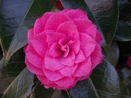 front view pink flower by thuvia