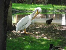 Preening Pelican by thuvia