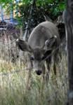 Mule deer 7