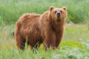 1200px-2010-kodiak-bear-1