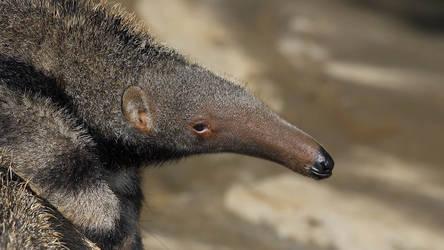 Animals Hero Giantanteater
