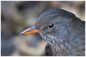 Blackbird female I by Malgorzata-Skibinska