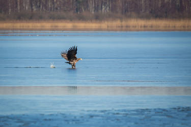 White-tailed eagle by Malgorzata-Skibinska