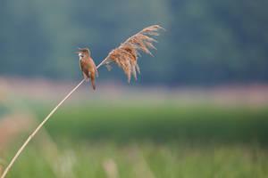 Thinking reed