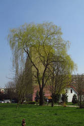 Willow 1 by Sirith