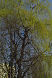 Willow 3 by Sirith