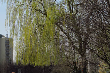 Willow 4 by Sirith