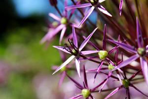 Star of Persia - Allium christophii by DatenTanzBaer
