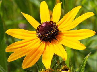 Black-Eyed Susan - Rudbeckia hirta by DatenTanzBaer