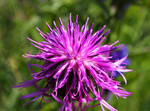 Crispy Thistle - Carduus Crispus by DatenTanzBaer