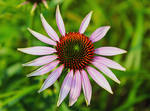 Echinacea by DatenTanzBaer