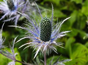 Queen of the Alps - Eryngium Alpinum