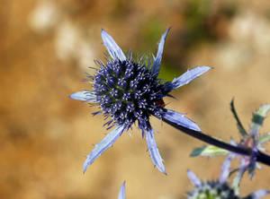 The faithful Blue - Eryngium planum
