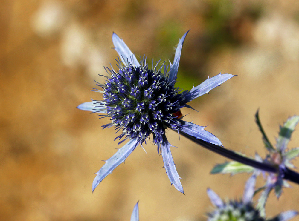 The faithful Blue - Eryngium planum by DatenTanzBaer