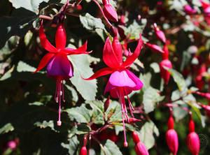 A Fuchsia for Magellan - Fuchsia Magellanica