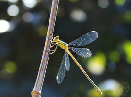 My first Dragonfly by DatenTanzBaer