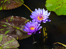 The blue Nymphaea by DatenTanzBaer