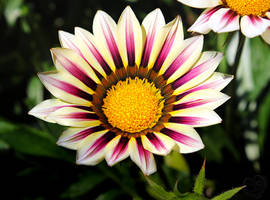 Sunrise over Gazania by DatenTanzBaer