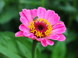 The Zinnia and the Hoverfly by DatenTanzBaer
