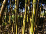 Field of Bamboo