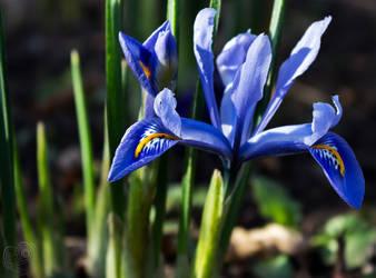 Colourful Iris by DatenTanzBaer