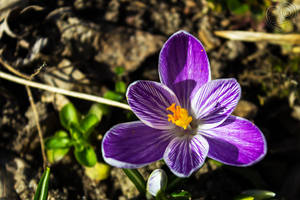 The Mark of the Crocus by DatenTanzBaer
