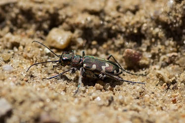Eye of the Tiger(Beetle) by DatenTanzBaer
