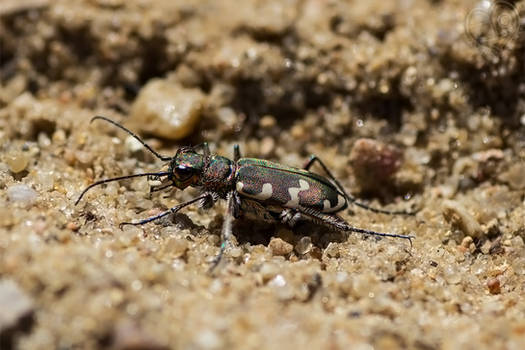 Eye of the Tiger(Beetle)