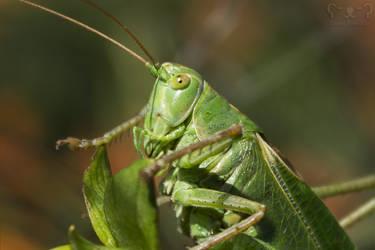 Logan the Locust - a bit closer by DatenTanzBaer