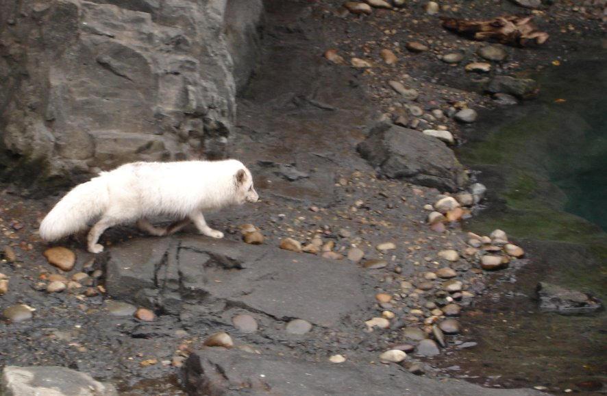 Arctic Fox by nowherekid85