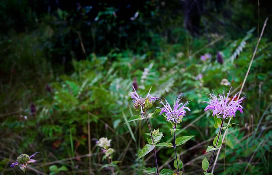 Wild Flowers, Minnesota 2017