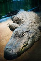 Aligator by HeroinForMyHeroine