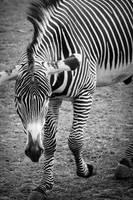 Zebra by HeroinForMyHeroine