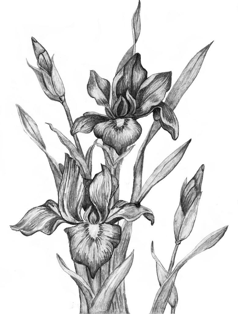 Two iris flowers ver3 by inspireddesigns33 on deviantart two iris flowers ver3 by inspireddesigns33 izmirmasajfo
