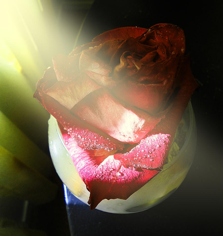Rose IV by Phaedris