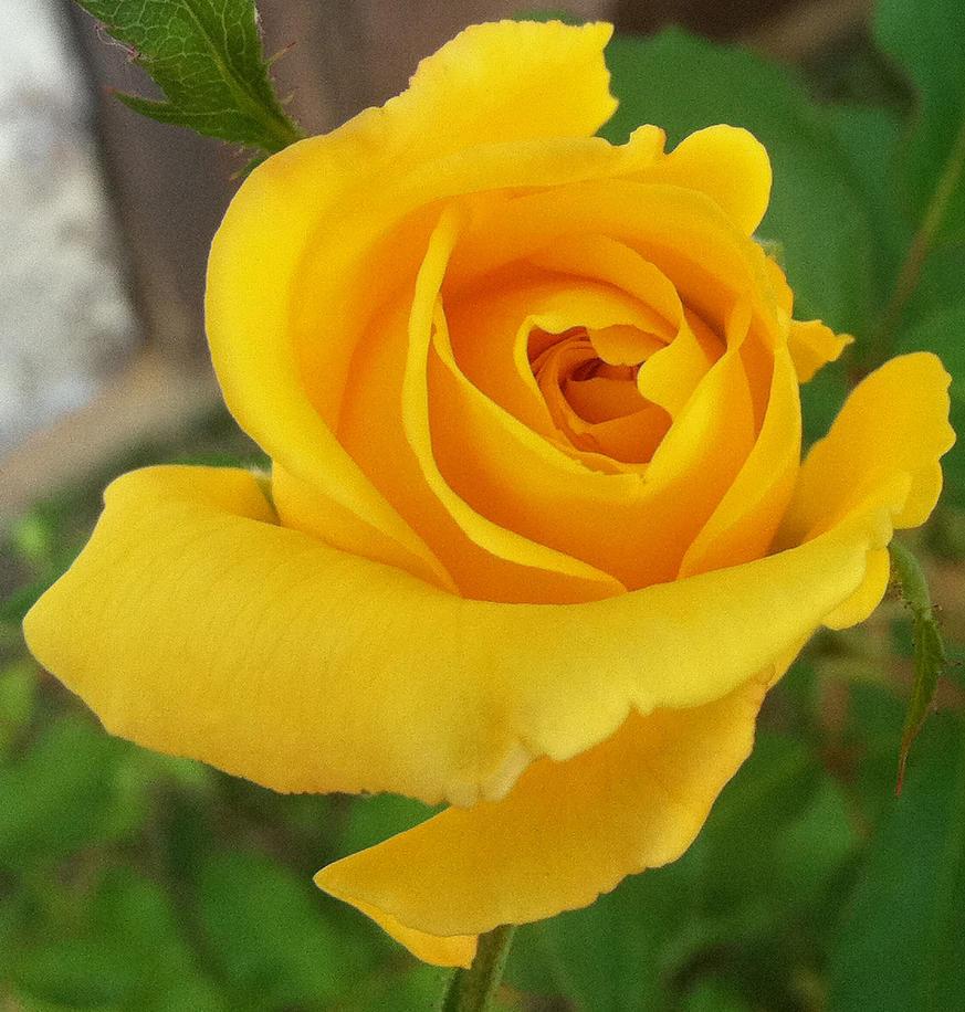 Sufi Rose by Phaedris
