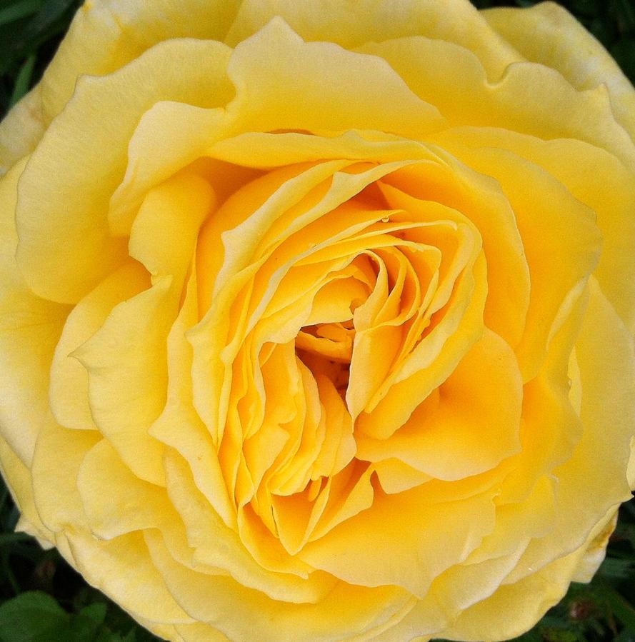 Rose 2015_0414 by Phaedris