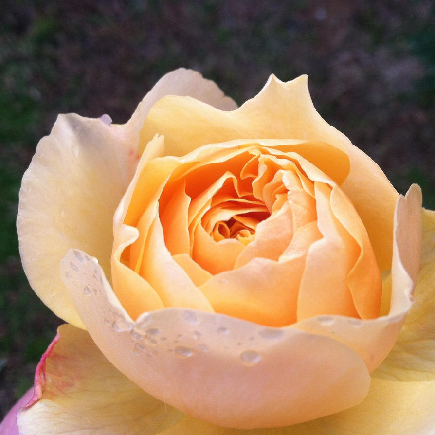 January Miracle Rose by Phaedris