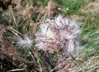 Milk Thistle bloom turned to seed by Phaedris