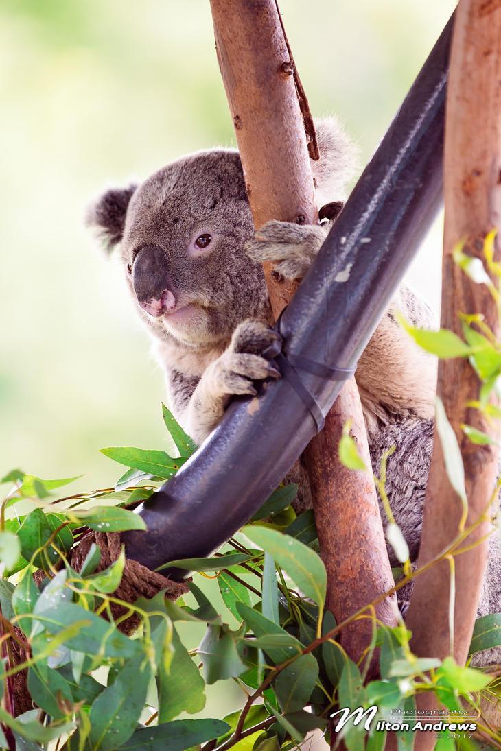 Koala by andmil