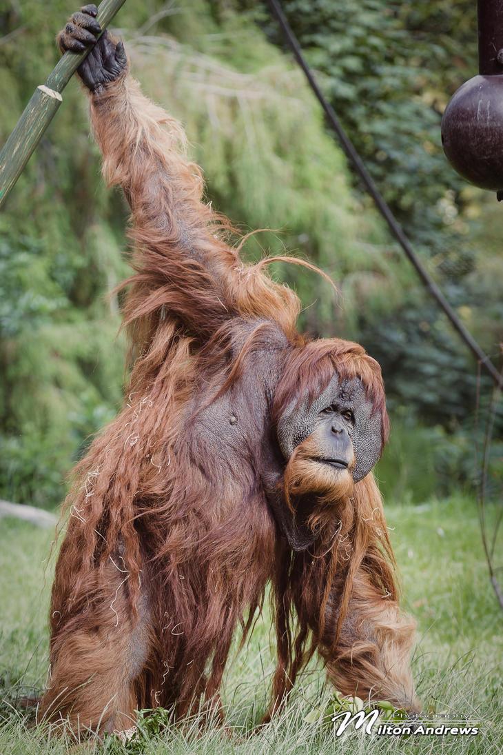 Orangutan by andmil