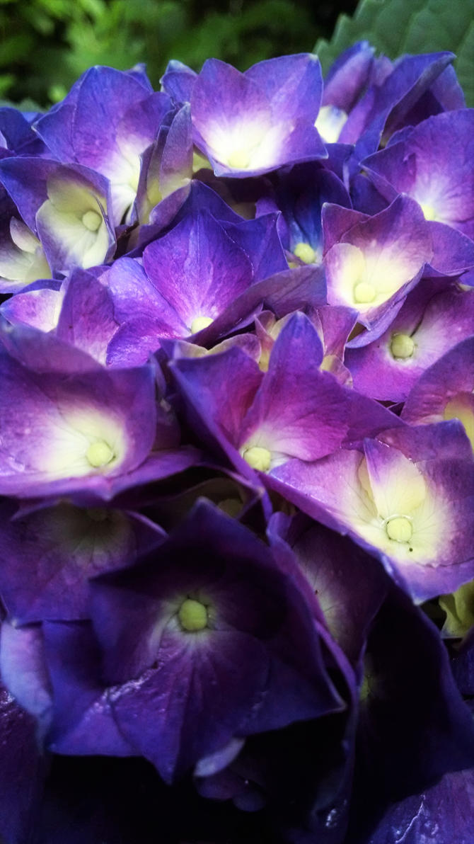 Hydrangea Up Close by InterestinglyBoring