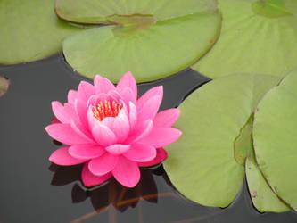 Like a Lotus