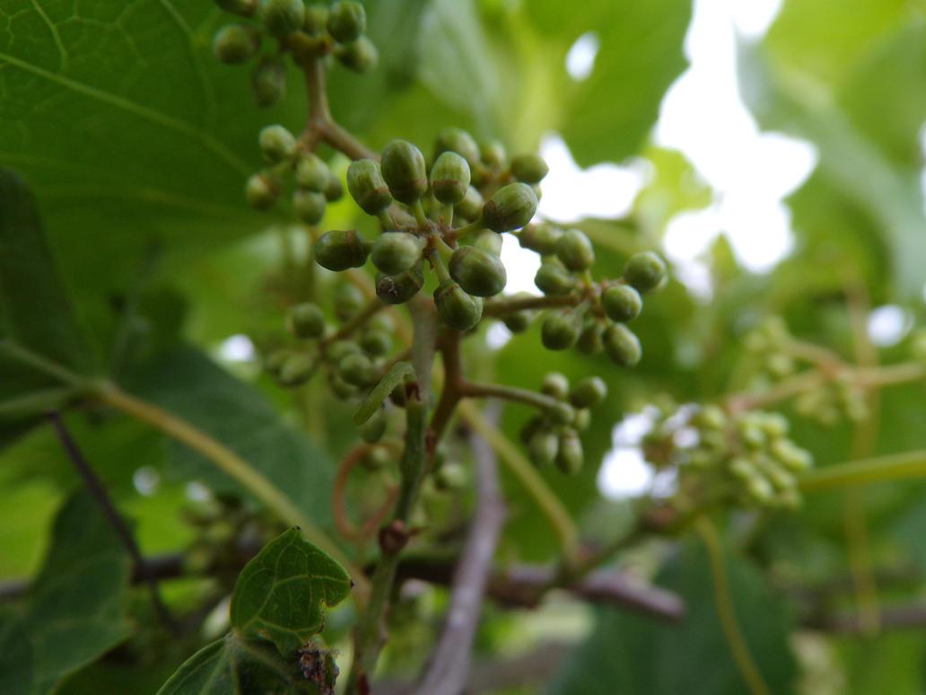 Grape-lings by CalyTones