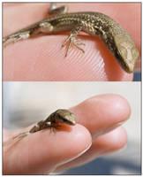 Finger Gecko
