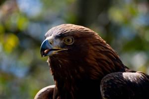 Golden Eagle by Mantis-nk