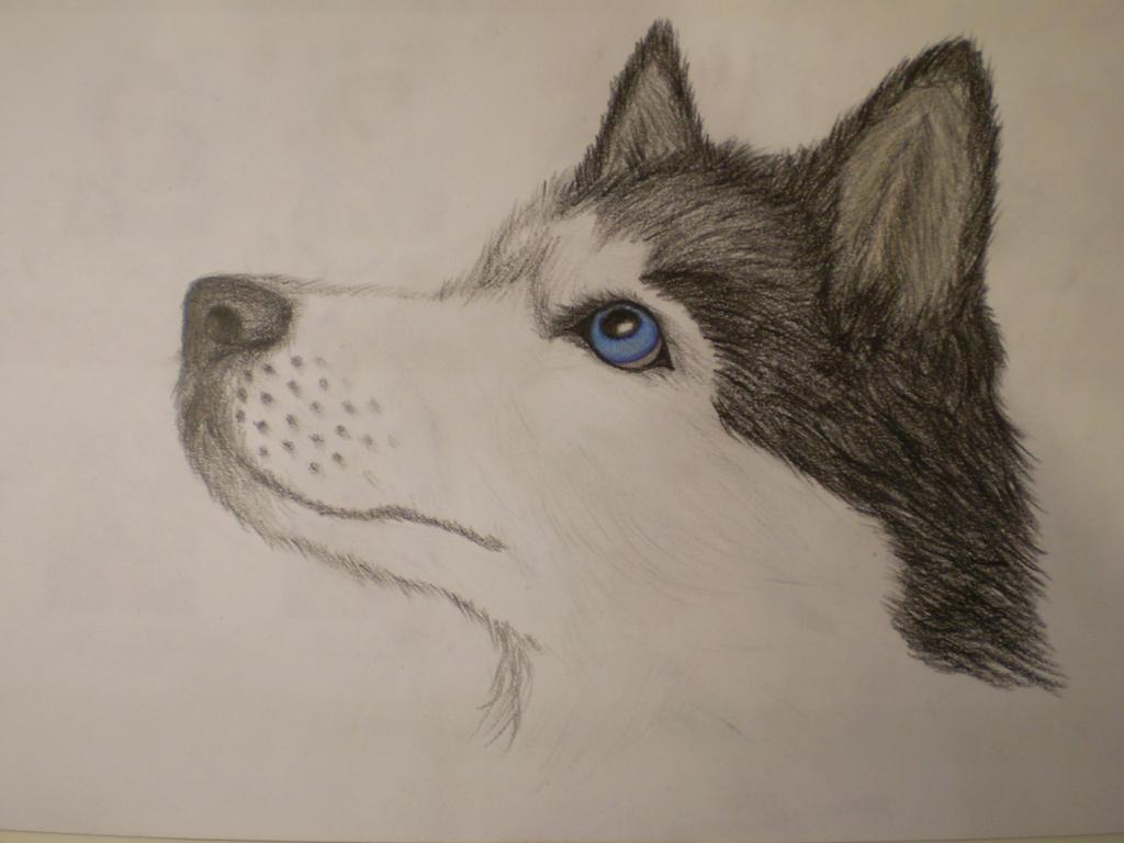 Siberian Husky by MustaVuona on DeviantArt Cute Husky Puppy Drawings